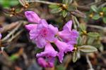 Lapland Rose-bay (Rhododendron lapponicum)